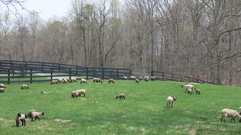 Lambs tasting their first pasture