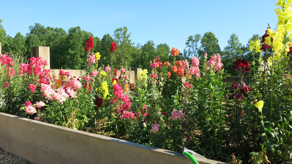 snapdragons in the kitchen garden