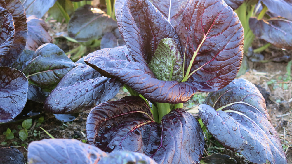 Purple bok choi in the garden