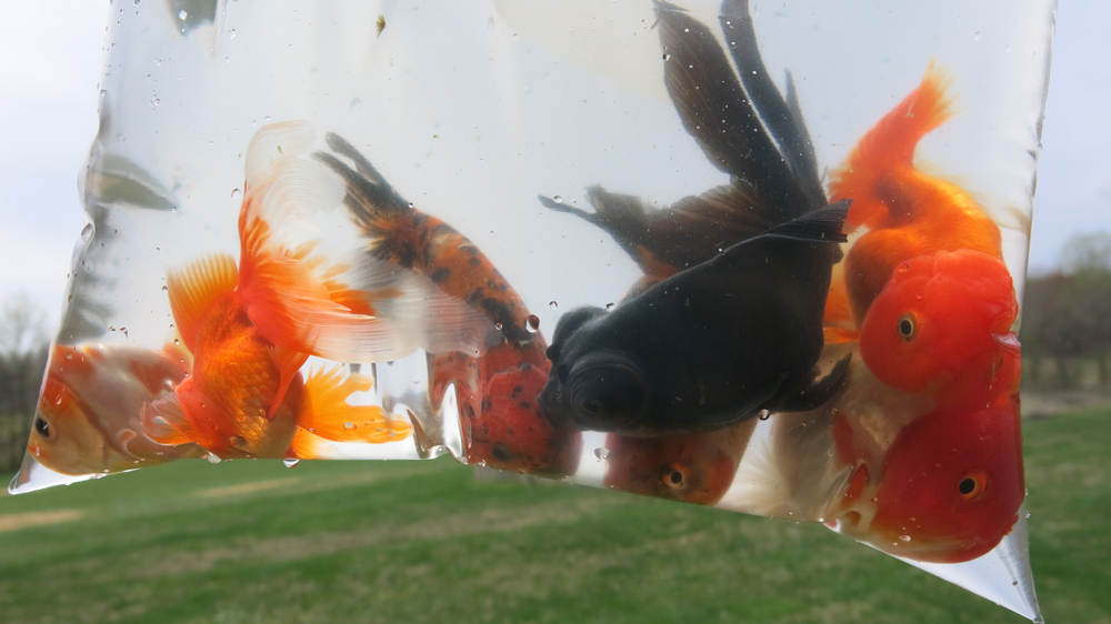 Annual migration of goldfish to garden fountain