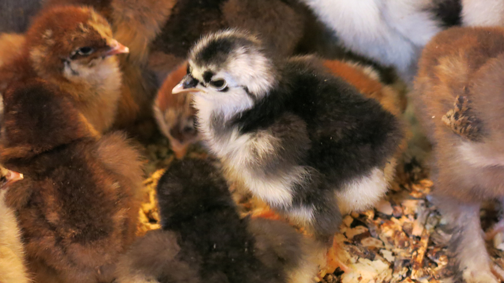 Over 100 chicks hatched at the farm this year