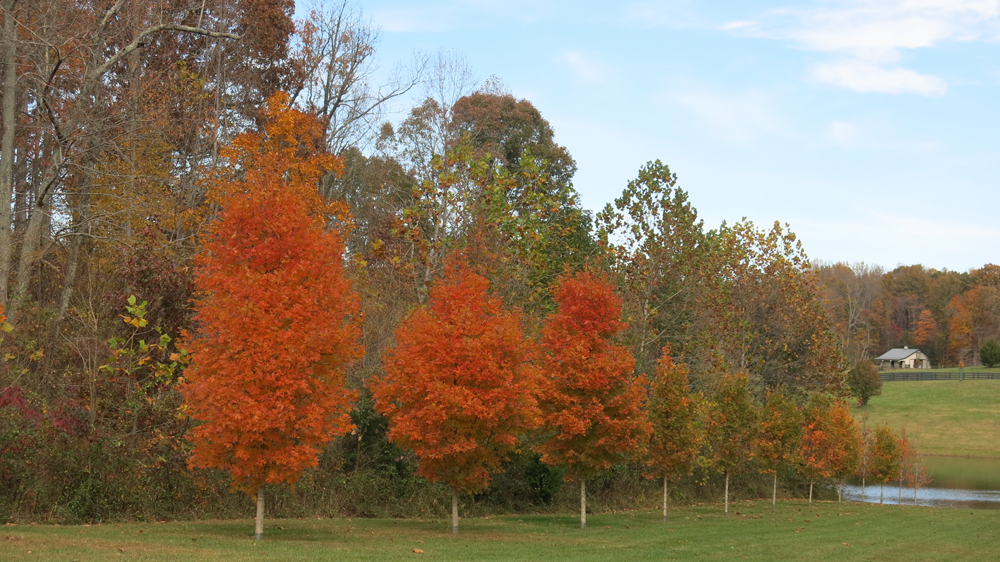 Sugar maple allee coloring up
