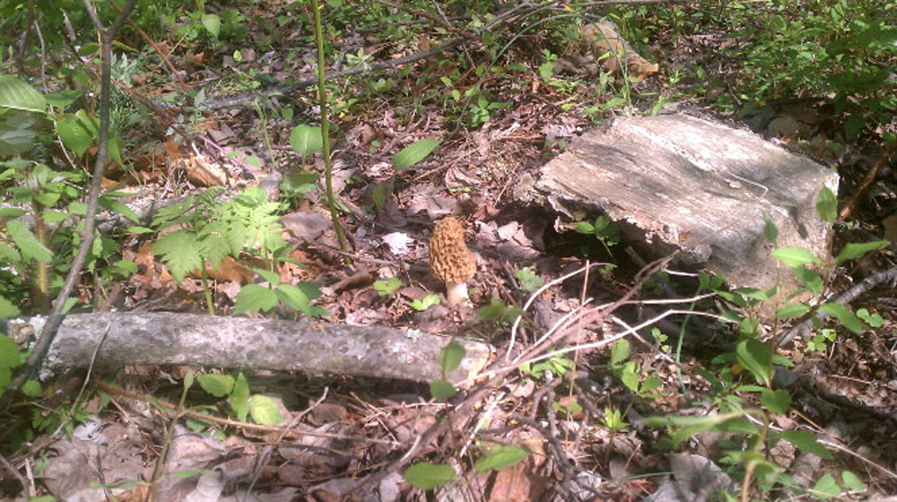one of only two morel mushrooms