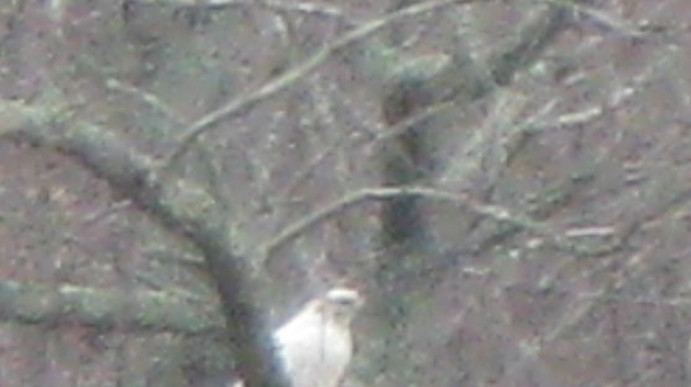 fuzzy picture of white hawk Milou