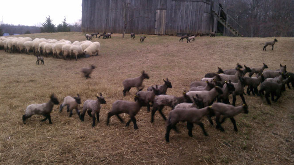 lambs having fun