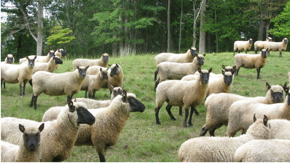 Touchstone Farm's ewe flock
