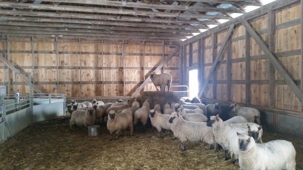 The sheep are locked in the barn for the storm