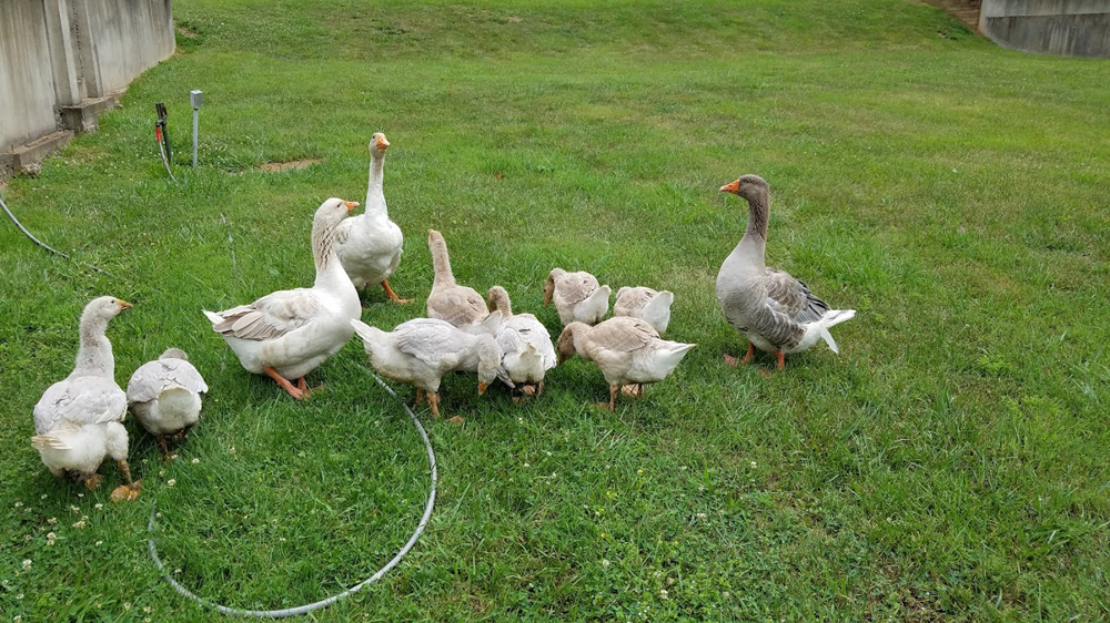 new goslings meet the rest of the flock