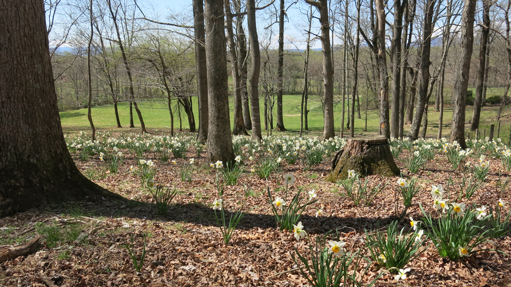 3,800 Flower Record daffodils on Daffodil Hill