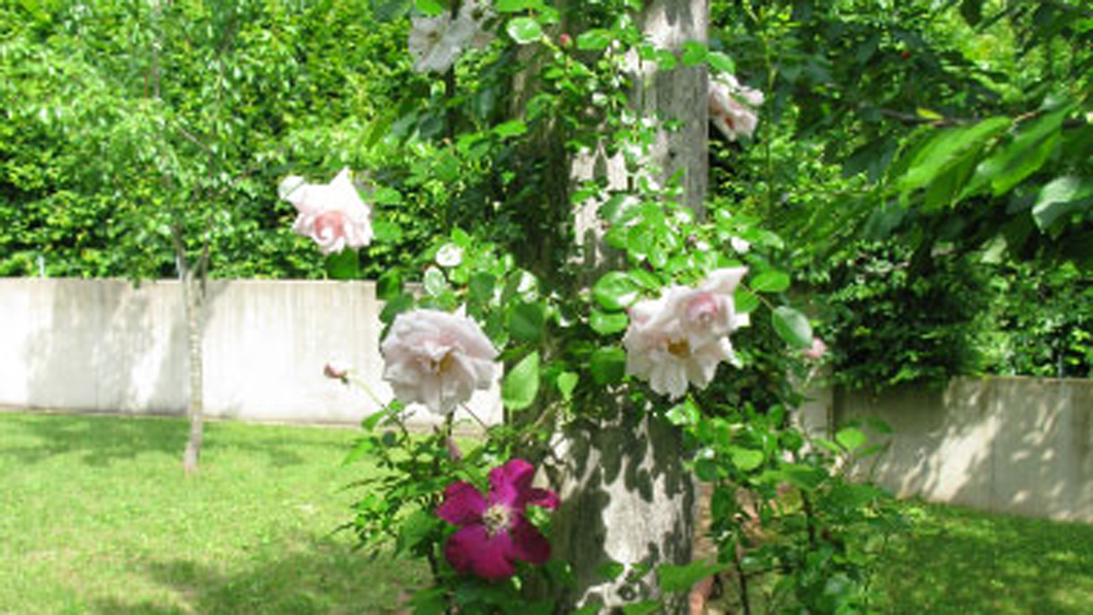 New Dawn roses and clematis