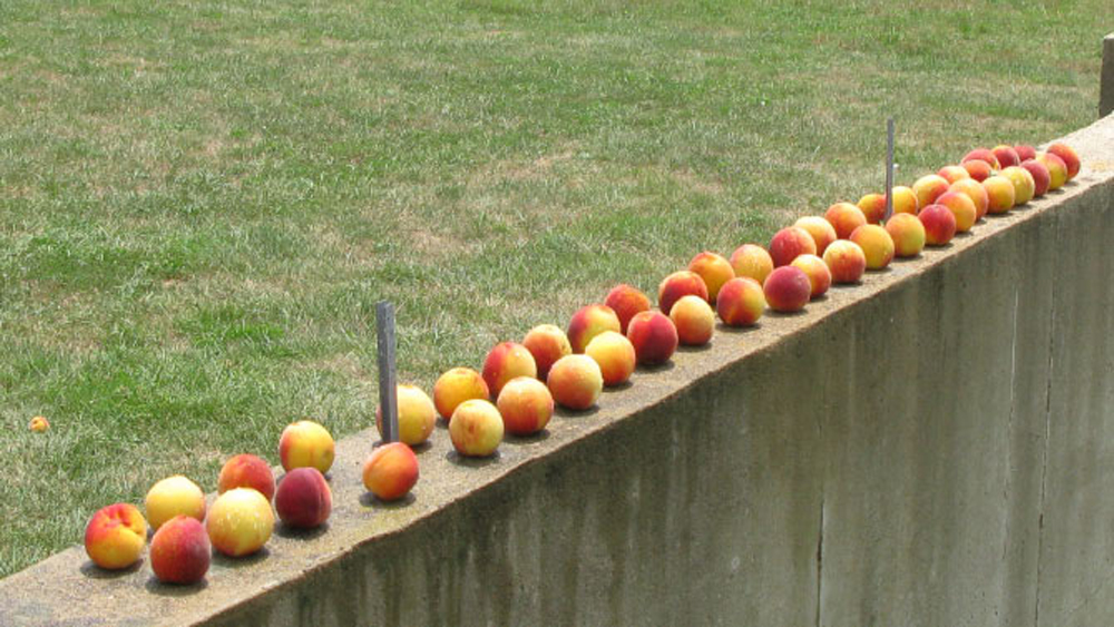 the most perfect peach crop ever