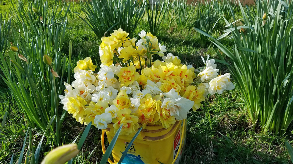 Collecting daffodils by the barn