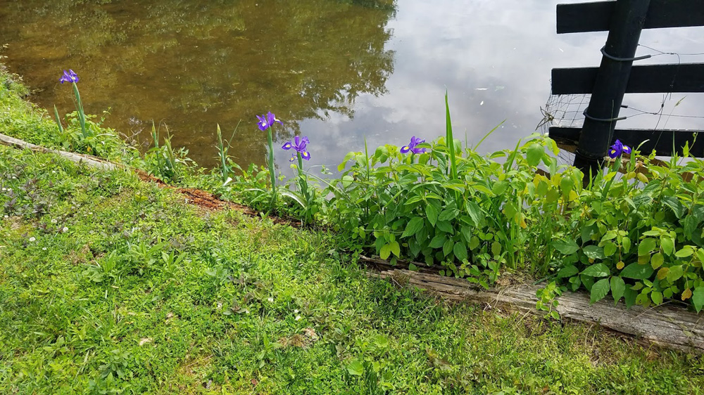 no muskrat means pond flowers can return