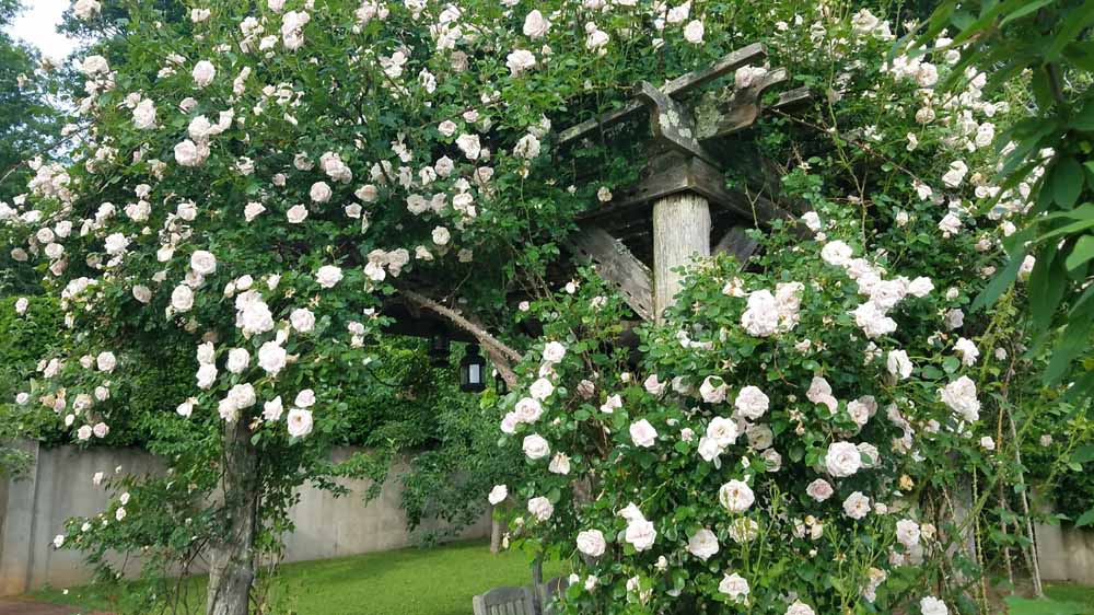 New Dawn roses in the Orchard