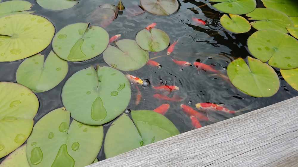 my goldfish are thriving in their ponds