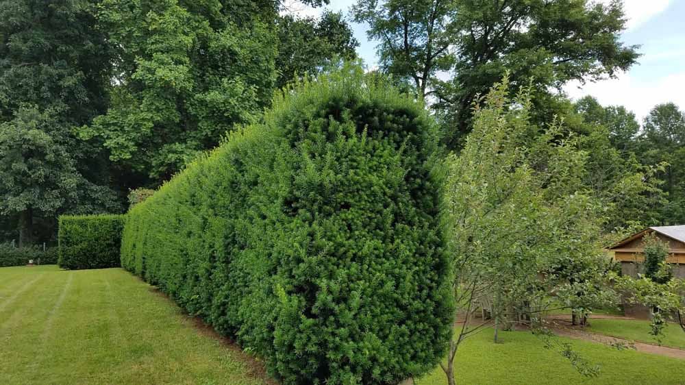 Yew hedges in need of a trim