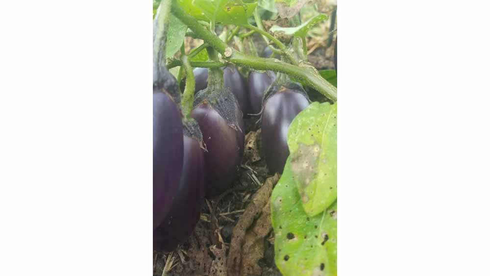 bumper crop of eggplants