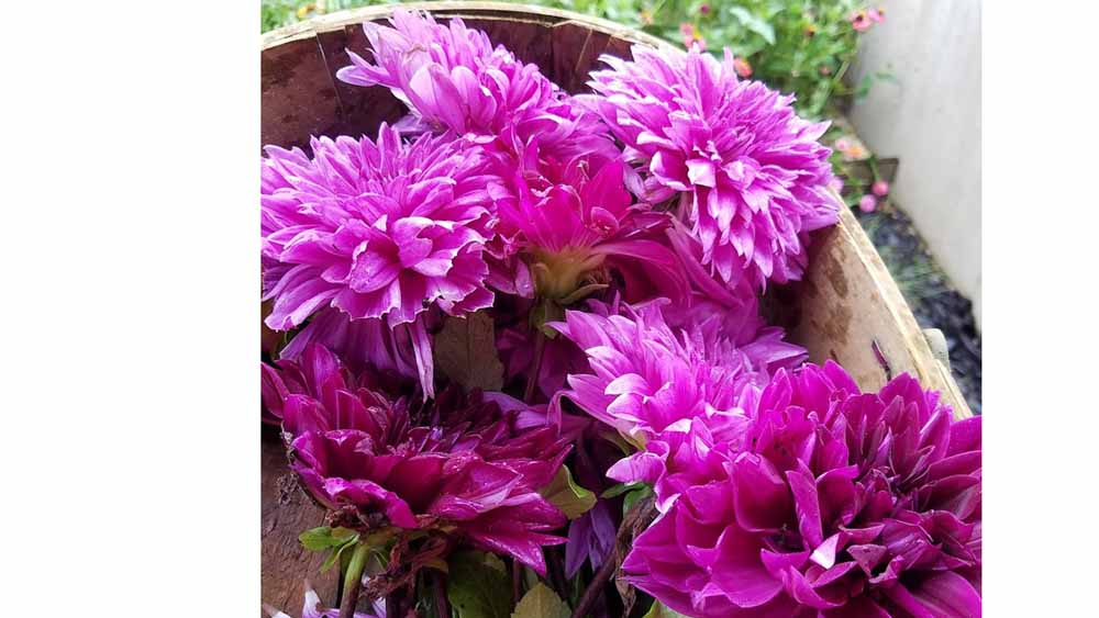bumper crop of dahlias