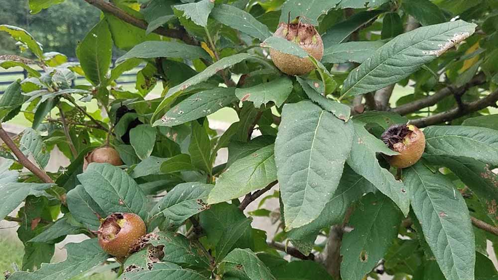 bumper crop of medlars
