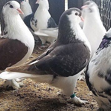 best pigeon I've raised this year